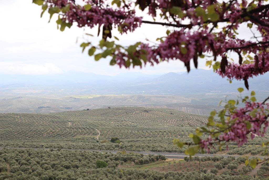mar de olivos en Baeza, Jaen